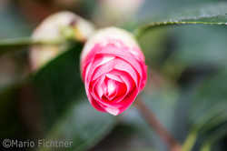 bluete-rose-rot-0343.jpg
