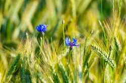 Cornfield blossom 312820