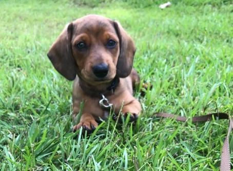 Training A Puppy In Starkville