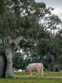 herd-cows-grazing-dehesa-salamanca-78360