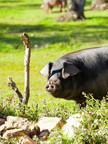 Laius-des-pages-annonces-Porc-porcs-Iber