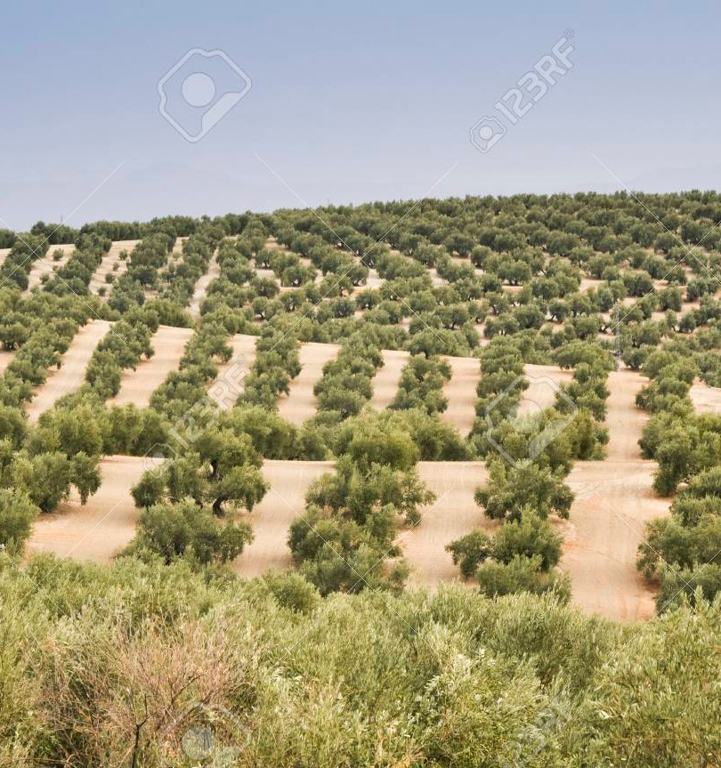35556281-plantation-of-olive-trees-andal