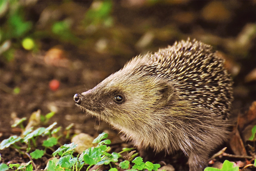 A hedgehog turns the left side of its face towards a camera, while it sits calmly on the ground.