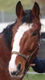 Pferdekopf Warmblut