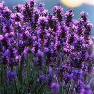 Kashmir Lavendel Absolute
