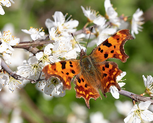 Comma Butterfly on Tottenham Marshes