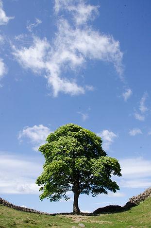 20190523carinegoris_sycamore tree.jpg