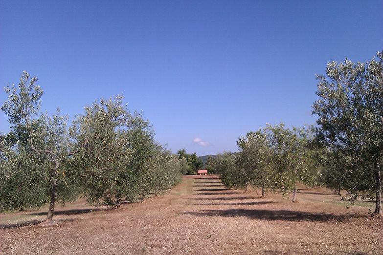 Walking in Olive Grow SanLorenzo 866