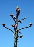 agave-buds.jpg