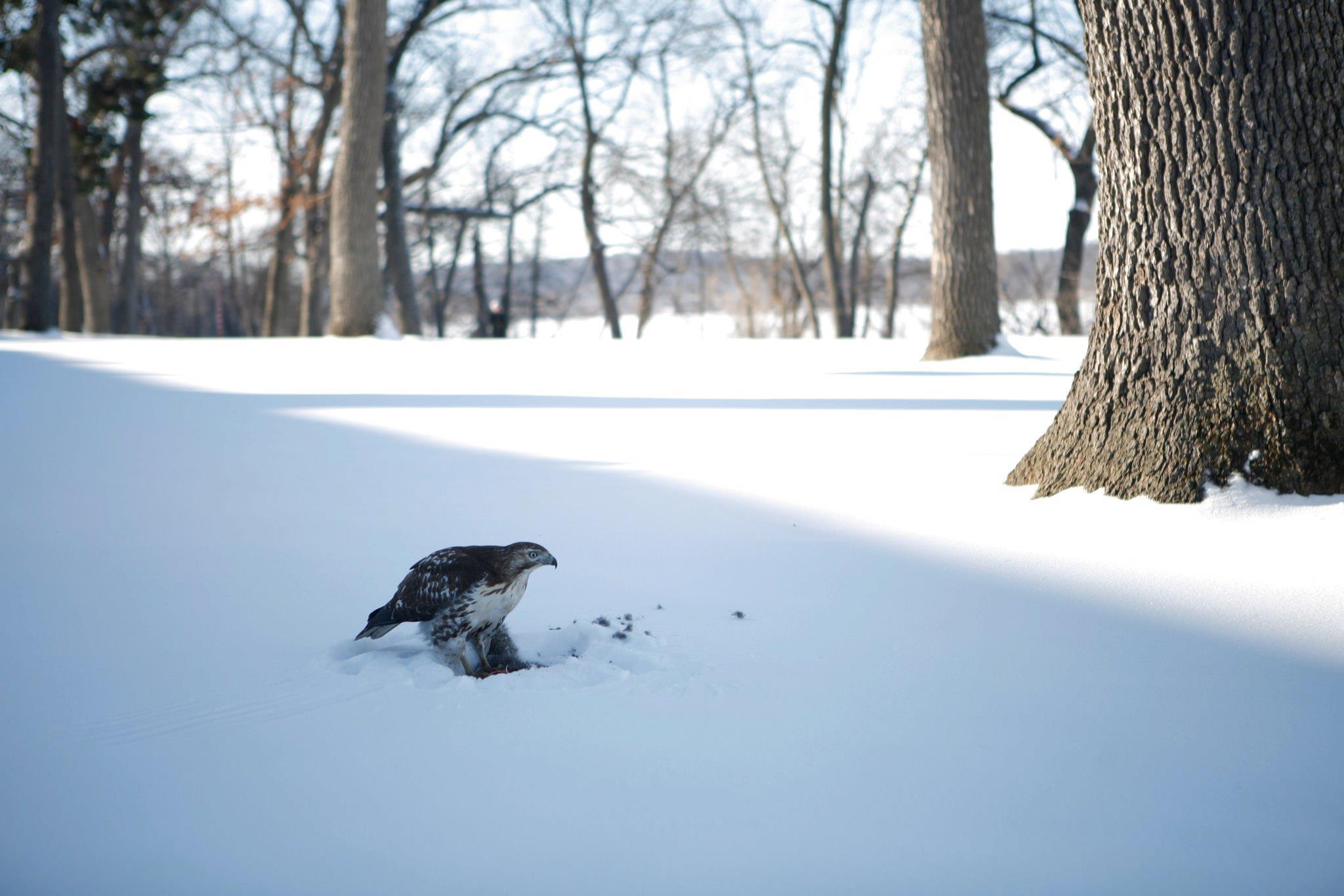 Hawk Eating Squirrel
