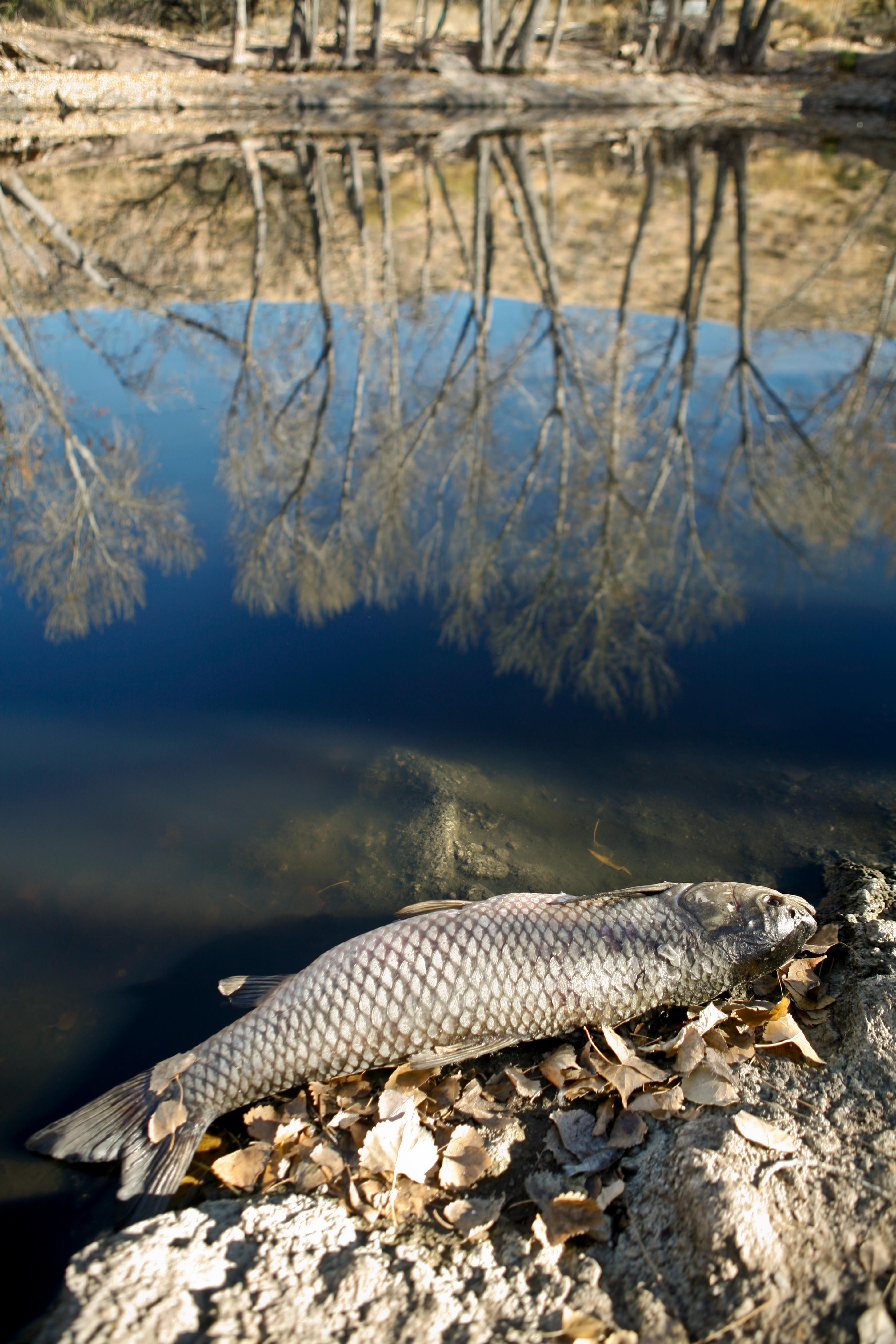 Dead Fish Beautiful Pond