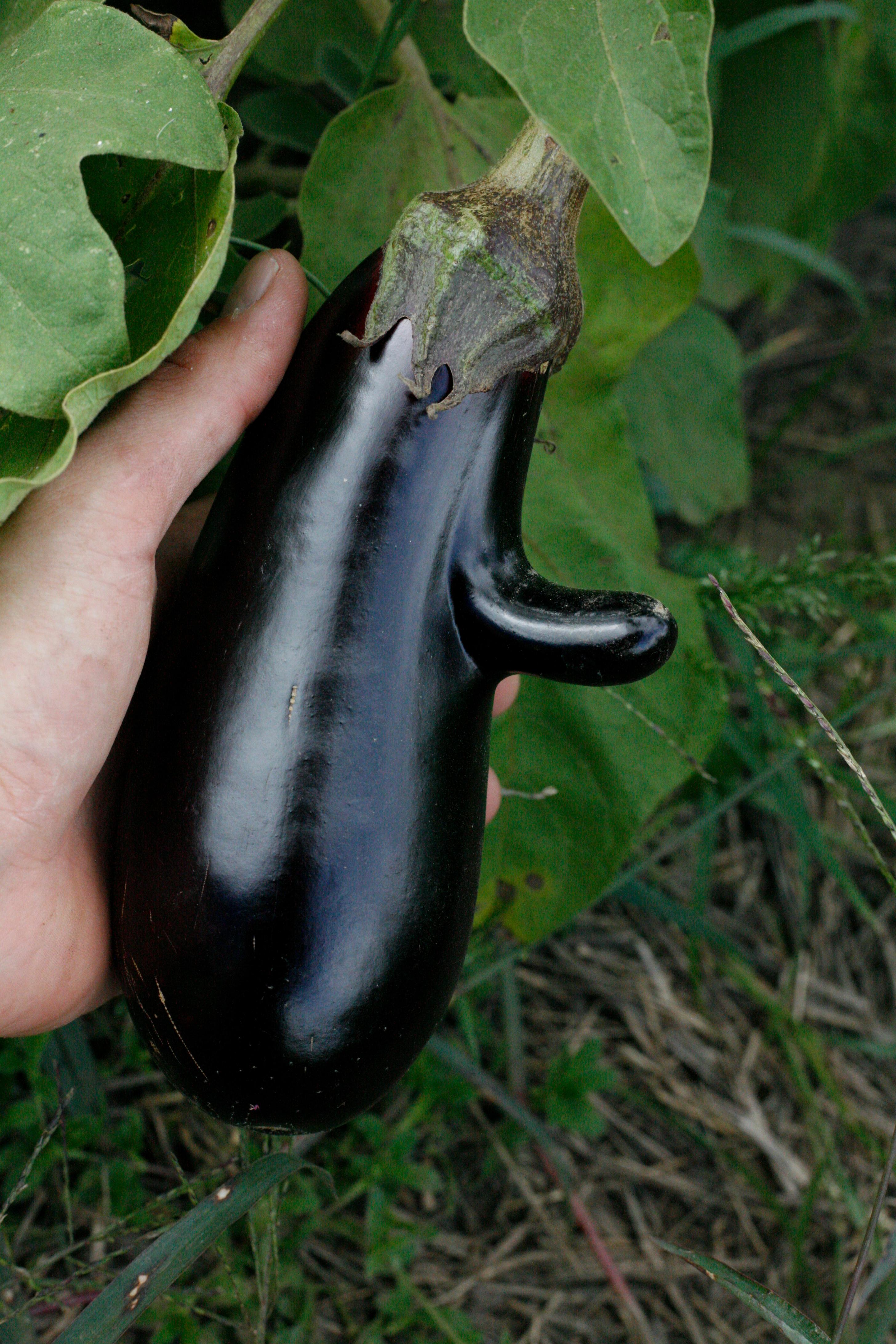 Pinocchio the Eggplant