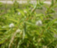 button bush.JPG