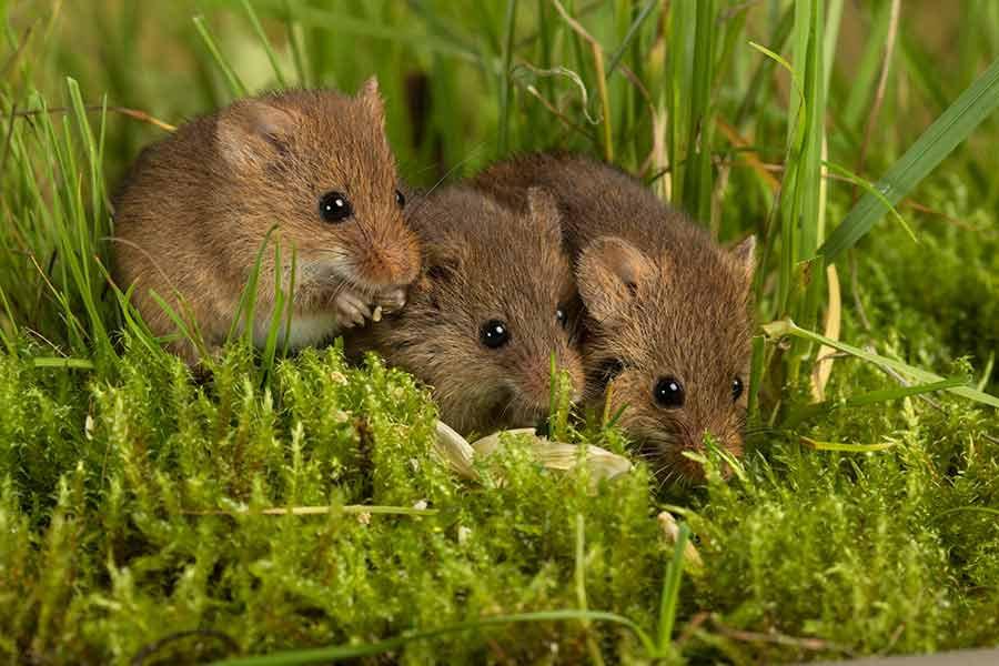 Field Mice Control