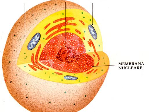 All'interno dei mattoni viventi che formano i nostri corpi: le cellule