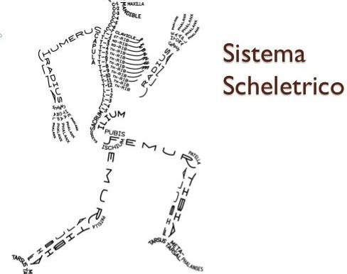 Struttura e funzioni dell'apparato scheletrico