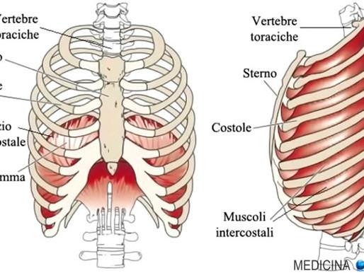 L'impalcatura del corpo umano: struttura e funzioni della gabbia toracica