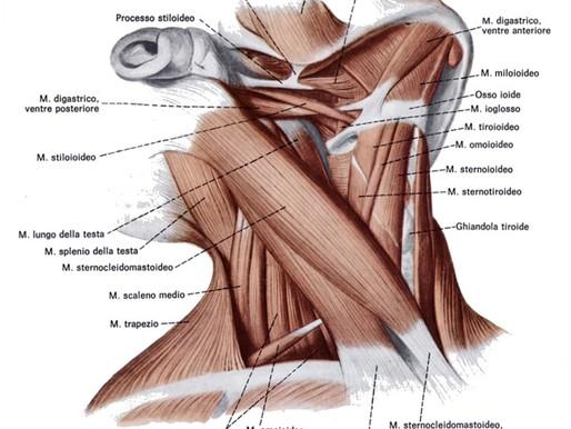 Alla scoperta dell'anatomia cervicale e di come preservarla attraverso la GYROKINESIS®