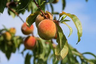 peaches-3529802_1280.jpg