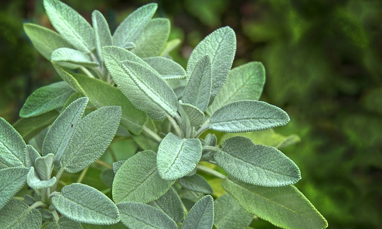 Sage (Sold by the bunch)