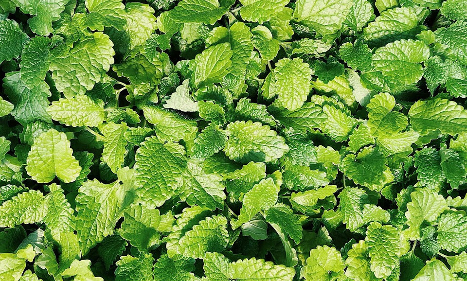 Spearmint (Sold by the bunch)