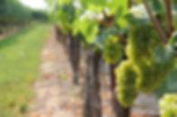 vine-3327945_1280.jpg