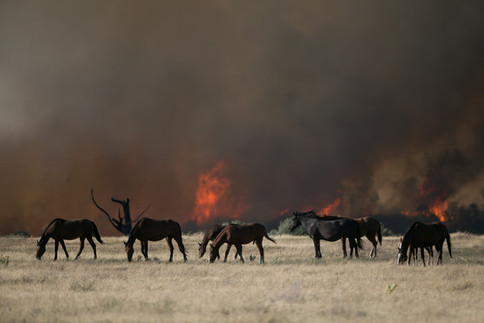 Horses graze as a large brush fire burns near White Swan, Wash. on Friday, August 10, 2018. The fire was reported around 3:30pm on Hawk Road, about halfway between White Swan and Fort Simcoe State Park. So far it has burned an estimated 80-130 acres and is threatening structures said Horace Ward, senior emergency planner with the Yakima County Office of Emergency Management.