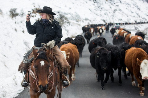 Katie Stingley takes a photograph of about 240 cows she is leading on Yakima Canyon Road, also known as State Route 821, during the annual Eaton family cattle drive on Friday, Feb. 8, 2019 in the Yakima River Canyon near Selah, Wash.