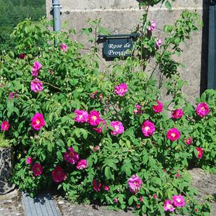 19 rose de provins