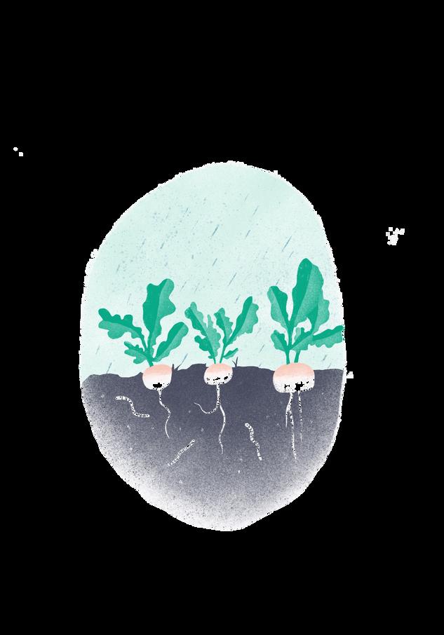 turnips.png