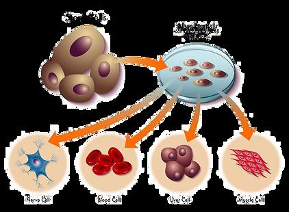 stem_cells31625295_M.png