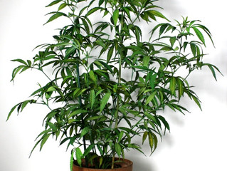Grow Your Own Mother Plant