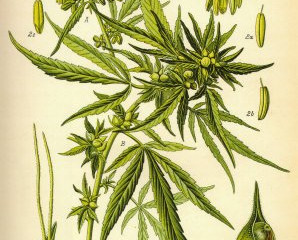 Cannabis 101: Plant Anatomy