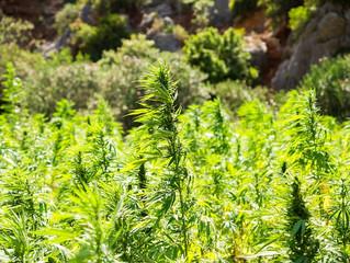 Cannabinoid Spotlight: CBD