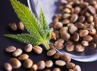 7 Facts Nobody Told You About Feminized Marijuana Seeds