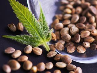 7 Facts Nobody Told You About Feminized Marijuana Seeds