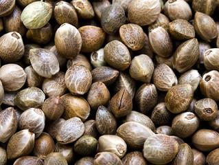 Why You Should Eat Marijuana Seeds: 5 Health Benefits