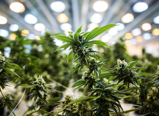 Let the Flower Bloom: The Cannabis Policy