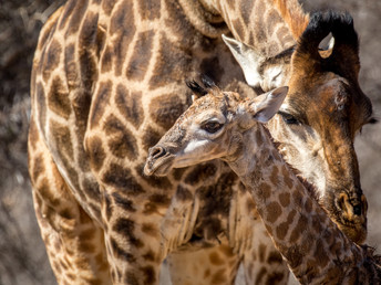 Witnessing a Giraffe Birth: Defying the Odds