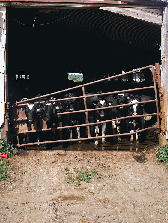 cow-5.jpg