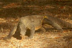 Komodo (augustus)