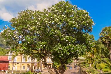 met de grootste frangi pani boom die we ooit hebben gezien