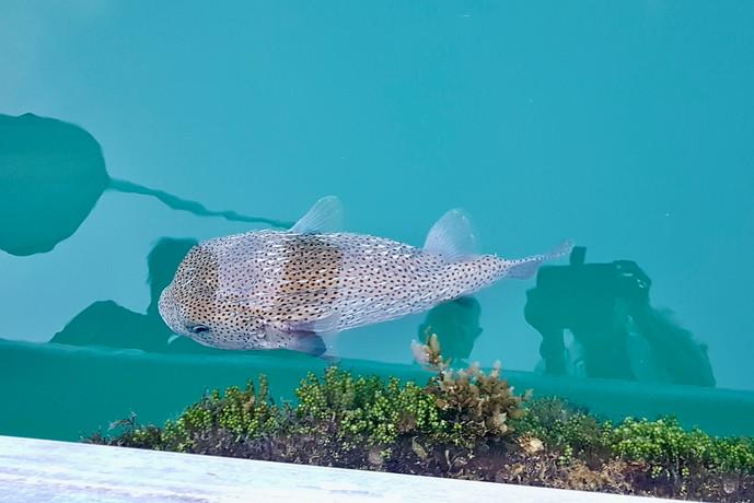 een prachtige ' boxfish ' is gewoon zichtbaar in het heldere water