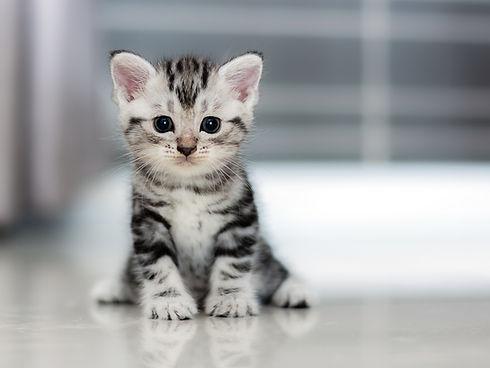 Cute American shorthair cat kitten.jpg