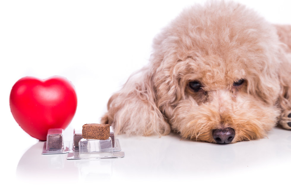 Poodle pet dog with beef chewables for h