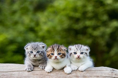 scottish fold, beautiful kitten on timbe