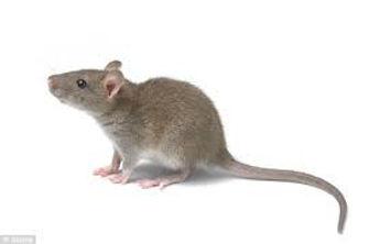 Rat Belfast Pest Control