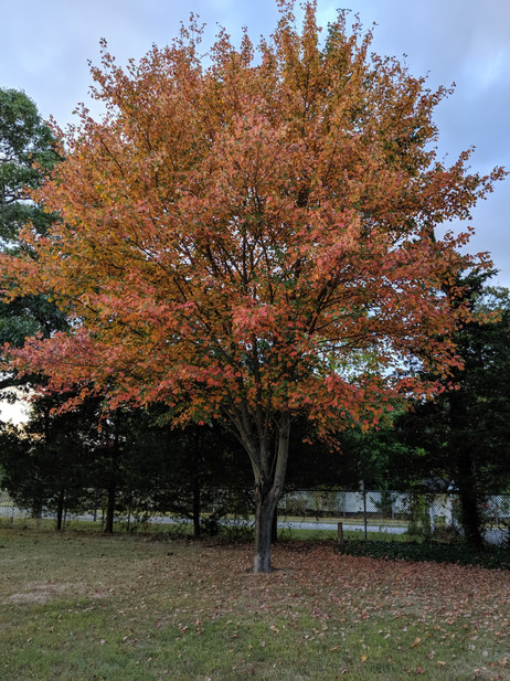 Our favorite tree in the backyard in the fall