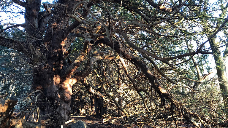 Shamanic Journey with the Plants: Yew