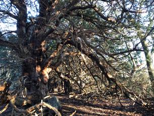 Trosley Yews